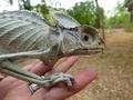Хамелеон превратился в мумию: как это возможно?!