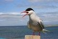 В Черном море можно встретить арктических птиц