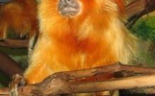"""Зоологи: обезьяны тоже могут ходить на """"свидания"""""""