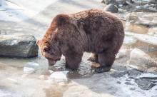 В подмосковные Мытищи забрёл медведь-шатун