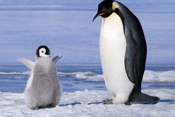 Могут ли люди стать причиной заболевания пингвинов?