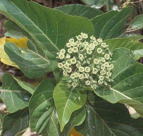 Пизония: растение-убийца