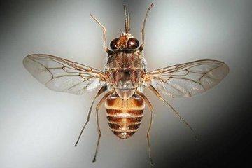 Почему муха Цеце так опасна