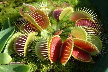 Венерина мухоловка - хищное растение, которое ест насекомых