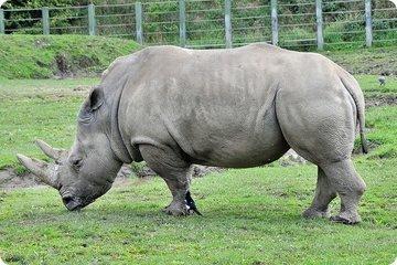 Белые носороги объединились для спасения своих истребленных собратьев
