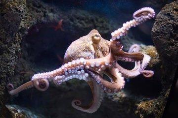 Осьминог - голубая кровь океана