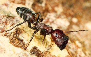 Взрывающие муравьи убивают врагов и самих себя