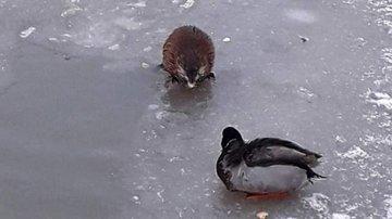 От ондатры в Кудрово откупаются арахисом