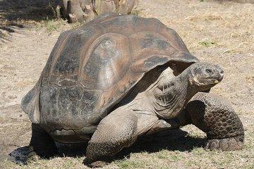 На Галапагосских островах найдена черепаха, считавшаяся вымершей