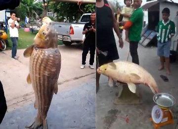 Тайские рыбаки поймали карпа-великана