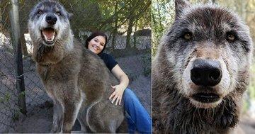 """Великолепный гигантский """"волк"""" Юки стал интернет-сенсацией"""