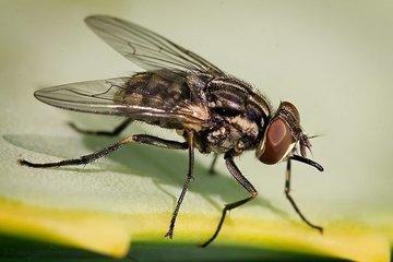 Пьяные мухи: что нового узнали ученые