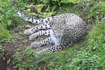 В Сочи леопард с ВИЧ станет донором для оплодотворения самки