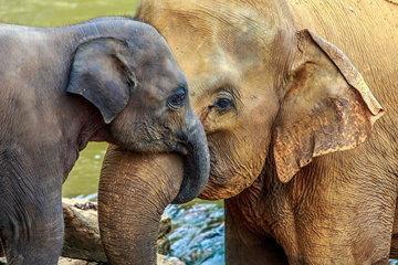 Некоторые слоны эволюционируют, теряя свои бивни