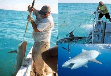 Рыбаки-спортсмены могут довести акул до вымирания