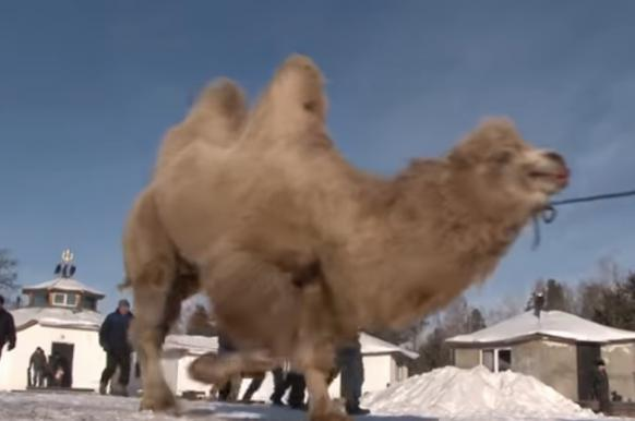 Shamans burn five camels in sacrifice ritual to make Russia stronger. 63432.jpeg
