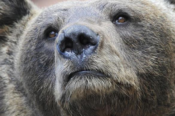 In Tomsk region, villagers suffer from mass poisoning after eating smoked bear. 61492.jpeg