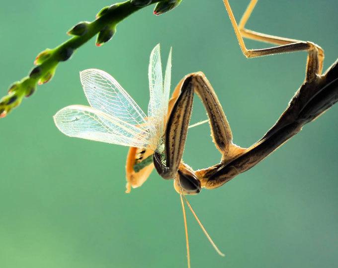 Mantis: The praying murderer