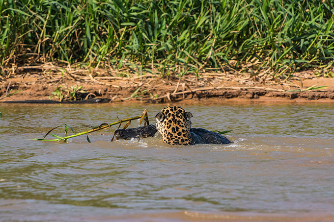 War of predators: Jaguar vs. Caiman