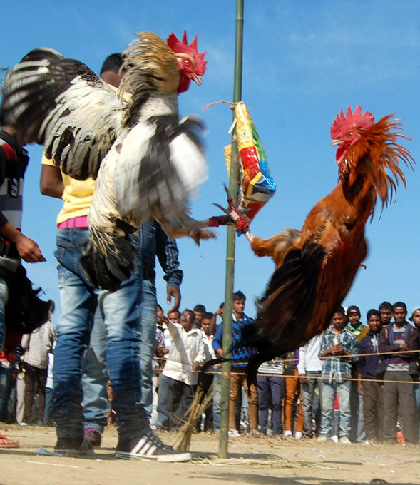 Brutal cock fights during harvest festival in India