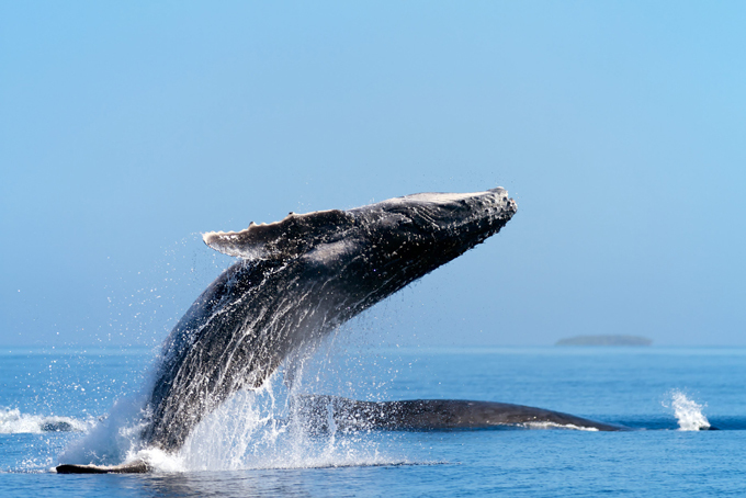 Humpback whales flying