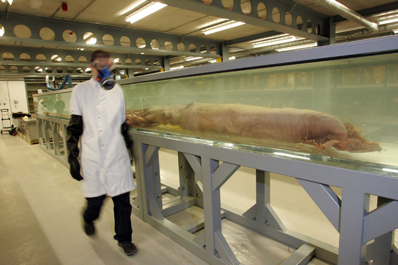 What do we know of giant squid?