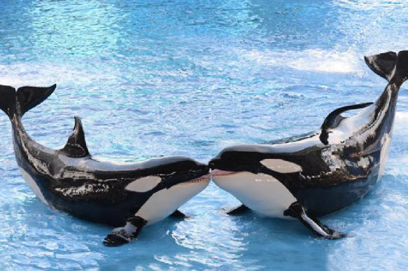 Russia to ban capture of killer whales and belugas in 2019