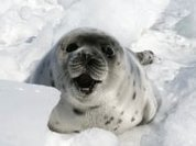 Russia bans harp seal trade. Next stop, Canada!