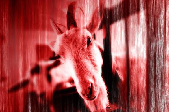 Cyclops goat born in Malaysia