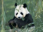 The Giant Panda: The good news