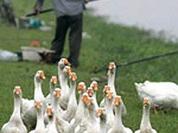 Europe panics over bird flu epidemic