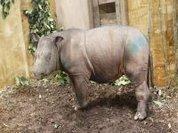 Female Sumatran rhino found in Malaysia