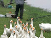 Bird flu commotion caused to bring Russian poultry market down