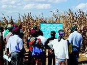 Rotating crops beats agrotoxins as bugs beat GM