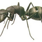 Ants with sadistic tendencies discovered