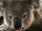 Koalas in Australia may disappear