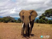 Saving the elephant: International ban on ivory