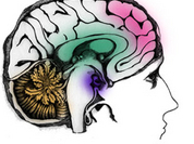 Females have more comlex brain structure