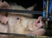 African swine fever ruthlessly ruins Putin's plans