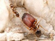 Study finds source of super soldier ant