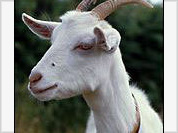 Belarusian scientists to create a she-goat using a human gene