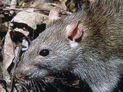 Ratzilla: Monster or hoax? The case of the giant rats