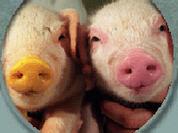 Transplantation of animal organs jeopardizes human civilization