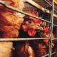 Bird flu threatens East Asia