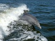 India: Dolphins declared non-human persons