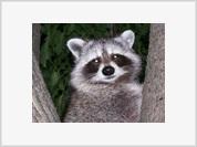 Rabid raccoon kills man in Moscow