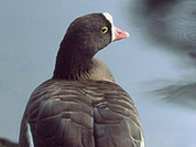 Lesser white-fronted goose speedily becomes extinct