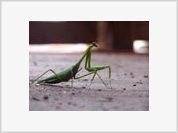 Love among the Praying Mantises across the Atlantic (Part II)