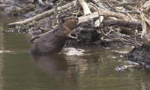 Beavers destroy 300 hectares of Russian woods