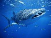 6-tonne whale shark found dead
